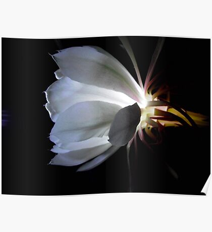 Moon flower by torch light. Poster