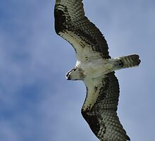 Osprey in Flight by Kim McClain Gregal