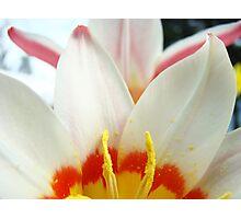 Tulip Garden Flowers White Pink Tulips art Baslee Troutman Photographic Print