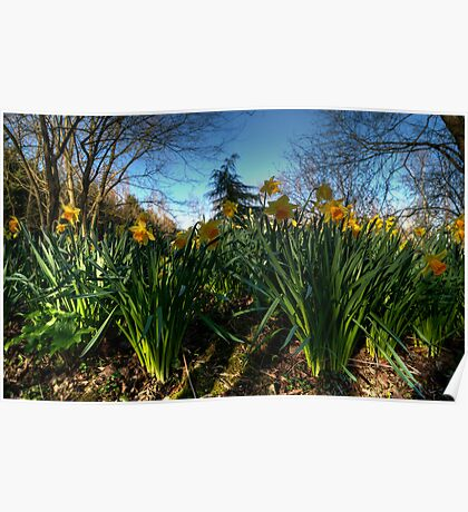 Daffs in Wilts Poster