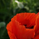 Red Poppy Macro - Quakertown, PA by Anna Lisa Yoder