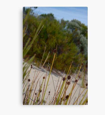 Isolepis in the Pondalowie dunes Canvas Print