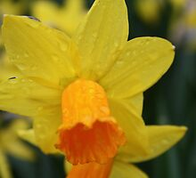 daffodil by Marie Brown ©
