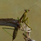 Green Praying Mantis by bobby1