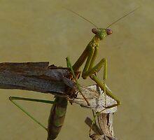 Green Praying Mantis by bobby1
