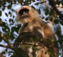 Black faced monkey, Ranthambore, Rajasthan, India by Christopher Cullen