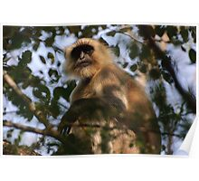 Black faced monkey, Ranthambore, Rajasthan, India Poster