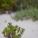 Mountain Daisy in the sand by catdot