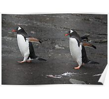 Marching two abreast, Gentoo penguins. Poster