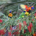 Rainbow lorikeets, enjoying the morning sun. by robinmaher