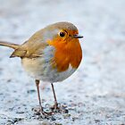 The European Robin (Erithacus rubecula) by Dfilyagin
