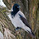 Grey crow on the branch (Corvus cornix) by Dfilyagin