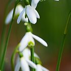 early snowdrops by draydor