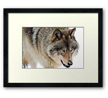 Winter in Canada / Lone Wolf Framed Print