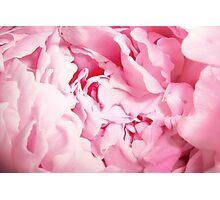 Pink Peony Rose Closeup Photographic Print