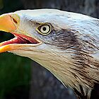 Alaskan Bald Eagle by naturelover