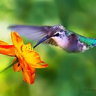 Ruby-throated Hummingbird on cosmos by PixlPixi