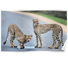 UP CLOSE WITH CHEETAH'S - CHEETAH - Acinonyx jabatus - Jagluiperd Poster