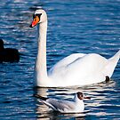 White swan in the water by Dfilyagin