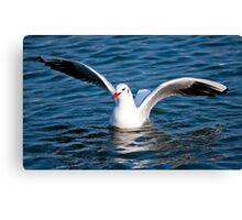 Gull in the water (Larus ridibundus) Canvas Print