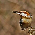Brown-headed Nuthatch by Janice Carter
