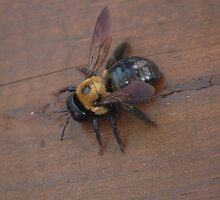 Carpenter Bee by zpawpaw