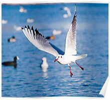 Gull in the air above the water (Larus ridibundus) Poster