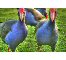 Pukeko native bird of New Zealand Photographic Print