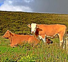 Red cows in an irish field by Richenda