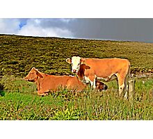 Red cows in an irish field Photographic Print