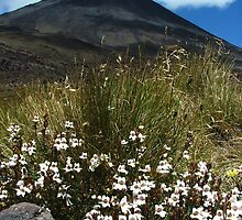 Eyebrights at the base of the volcano Ngauruhoe by orkology