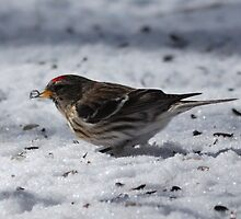 Red Poll in Ontario Snow by Groovydawg
