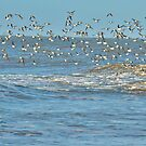 Flock of Sanderlings. by Lilian Marshall