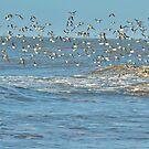 Flock of Sanderlings. by Lilian Marshall