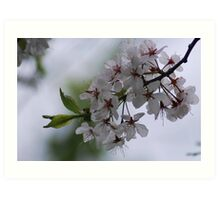 White Blossoms Art Print