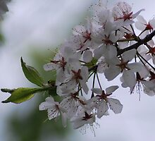 White Blossoms by Diane Blastorah