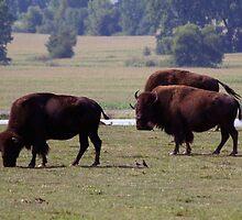 Where the Buffalo Roam IIII by Anthony Roma