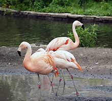 Pink Flamingos by Anthony Roma