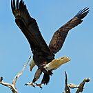 Bald eagle landing by jozi1