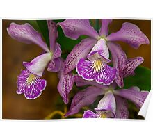 Cattleya Orchid Poster