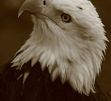 Bald Eagle  by naturalnomad