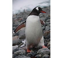 Gentoo penguin Photographic Print