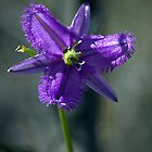 Fringe Lily - Mt Augustus by Earthboundimage