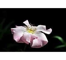 pink petals & dainty wings  Photographic Print