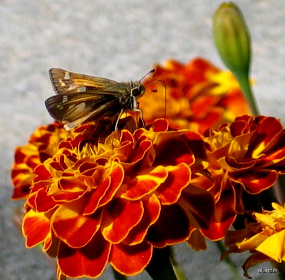 Marigolds and a Skipper Butterfly by plunder