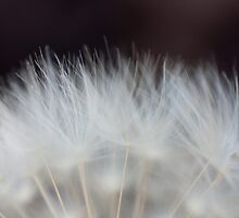 Dandelion Fluff by Chris Paul