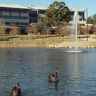 BLACK SWANS @ PARK CENTRAL MACARTHUR  by briangardphoto