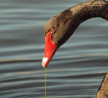 BLACK SWAN @ PARK CENTRAL MACARTHUR by briangardphoto