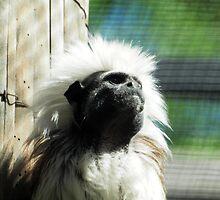 cotton-headed tamarin (Saguinus oedipus) & AQUARIUM ACT by briangardphoto