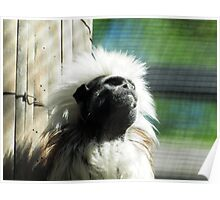 cotton-headed tamarin (Saguinus oedipus) & AQUARIUM ACT Poster